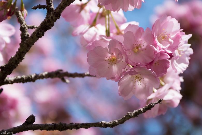 美の山公園 桜