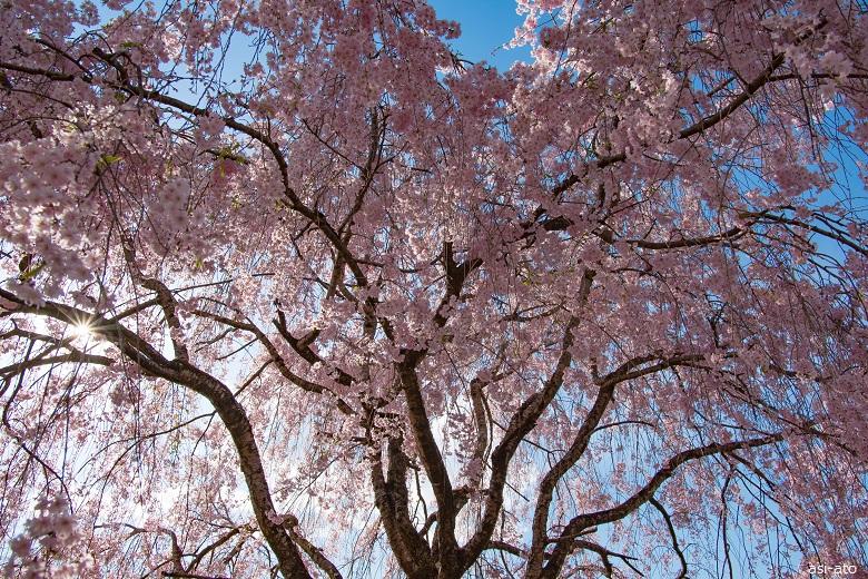 羊山公園 しだれ桜
