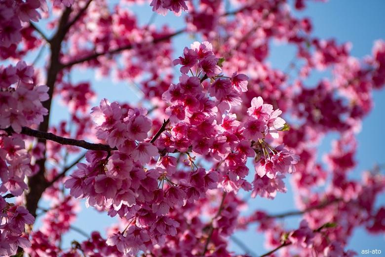 河津桜まつり