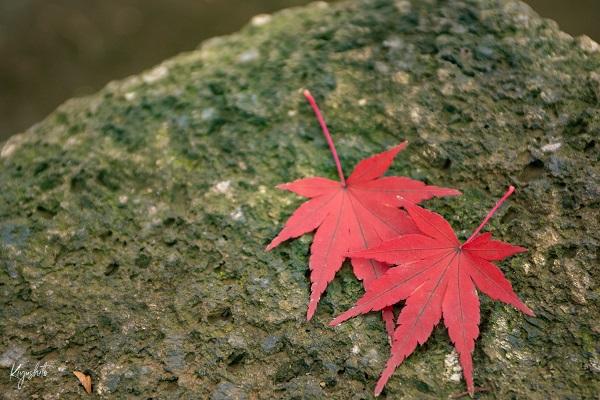 氷川神社 紅葉
